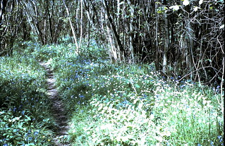 Bluebells and wild garlic in Phrympth Copse
