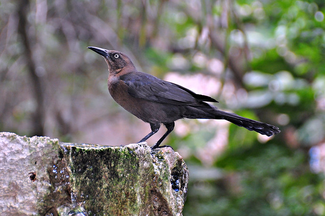 Great-Tailed Grackle (Mexican Grackle)