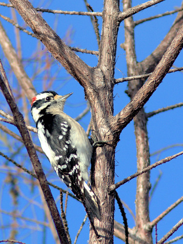 Downy Woodpecker male 20170223