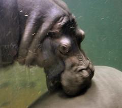 Biting Hippo