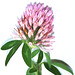 Clover - Photo (c) John Poulakis, some rights reserved (CC BY)