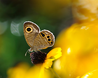 small butterfly on Rudbeckia