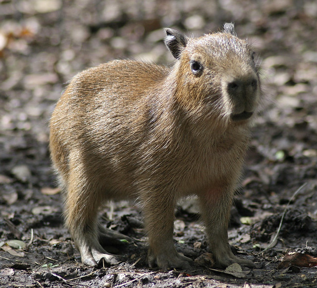 R Guinea Pigs Rodents Baby capybara |...