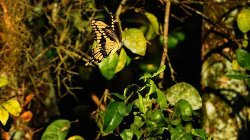 park butterfly inflight nikon shot action jupiter riverbend giantswallowtail papiliocresphontes dennisderby nikond300s giantswallowtailbutterflypapiliocresphontes