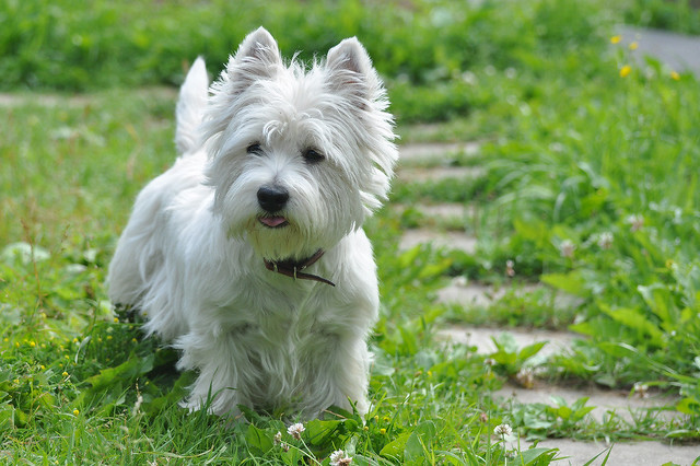 WESTIES   THE WEST HIGHLAND TERRIER - cover