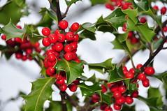 blossom(0.0), evergreen(0.0), shrub(0.0), cherry(0.0), acerola(0.0), flower(0.0), crataegus pinnatifida(0.0), schisandra(0.0), rowan(0.0), hawthorn(0.0), lingonberry(0.0), berry(1.0), branch(1.0), leaf(1.0), tree(1.0), plant(1.0), produce(1.0), fruit(1.0), food(1.0), aquifoliaceae(1.0), aquifoliales(1.0),
