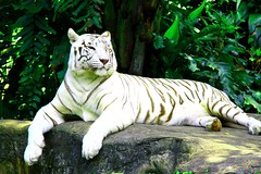 white tiger set