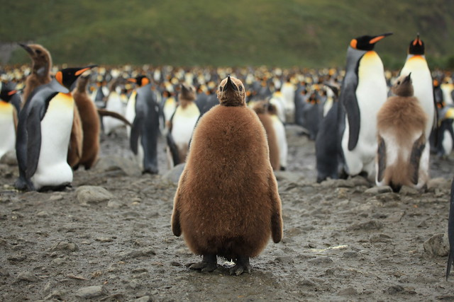 King Penguin Chick at Salisbury Plain