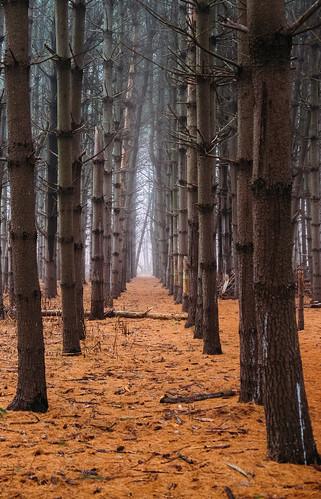 trees landscape helyarwoods nature nj rutgersgardens fog fieldofheroes pines woods forest eastbrunswick newjersey unitedstates us