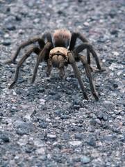 ocypodidae(0.0), arthropod(1.0), animal(1.0), spider(1.0), invertebrate(1.0), macro photography(1.0), fauna(1.0), close-up(1.0), tarantula(1.0), wolf spider(1.0),