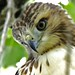 Red Shouldered Hawk by G.Sprague1