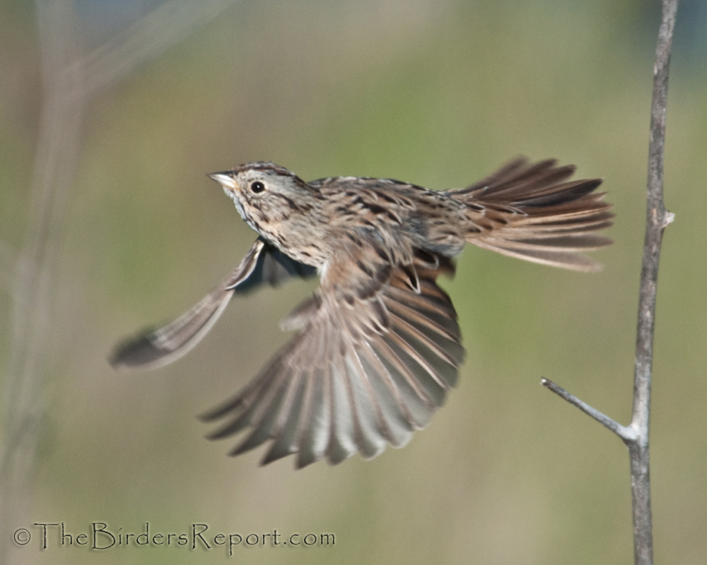 Displaying 18&gt Images For  Sparrow Bird Flying