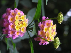 blossom(0.0), shrub(0.0), nectar(0.0), annual plant(1.0), flower(1.0), yellow(1.0), plant(1.0), macro photography(1.0), wildflower(1.0), flora(1.0), lantana camara(1.0),