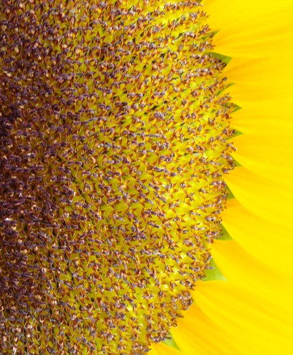 flowers vancouver washington northwest sunflower clarkcounty