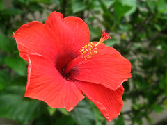 annual plant, flower, red, plant, malvales, macro photography, flora, chinese hibiscus, petal,