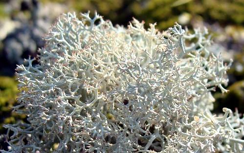 Reindeer moss, growing on Riggins Bridge guardrail support pole