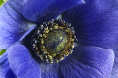 flower, purple, macro photography, flora, close-up, blue, petal, poppy,