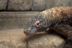 animal, reptile, lizard, komodo dragon, fauna, close-up, scaled reptile,