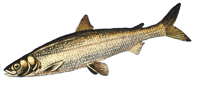 Cisco Or Lake Herring Coregonus Artedii Cisco Or