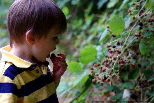 eating blackberries straight from the vine    MG 0828