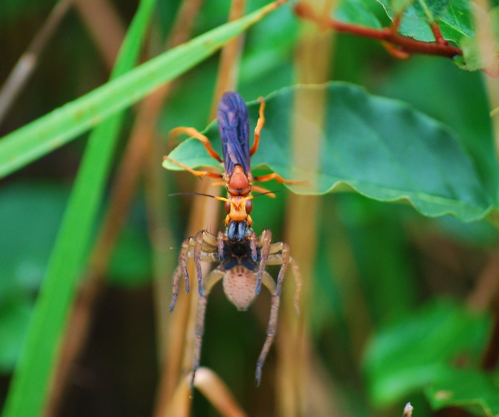 spider vs wasp Spiders (and insects) are hosts and prey to various animals and insects such as  acrocerid flies, pompilid wasps, mantispids, other spiders (such as the cannibal.