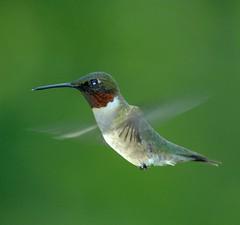 Common Birds In Ga Flashcards Quizlet