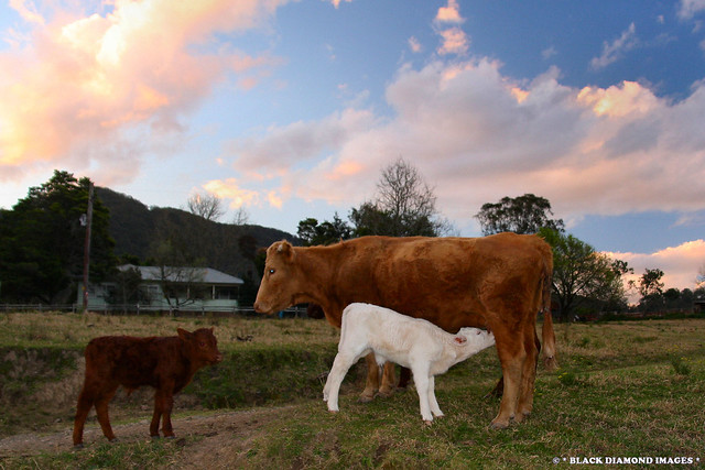 Feeding Calf and Cow - Gloucester Tops, NSW
