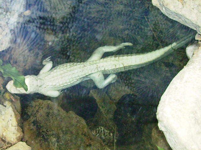 Baby Albino Alligator | Flickr - Photo Sharing!