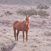 Small photo of Brumby stallion