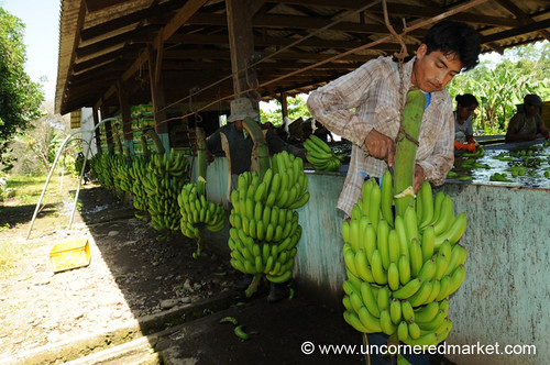 Stripping Bananas - Chapare, Bolivia
