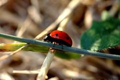 trailside ladybug    MG 9045