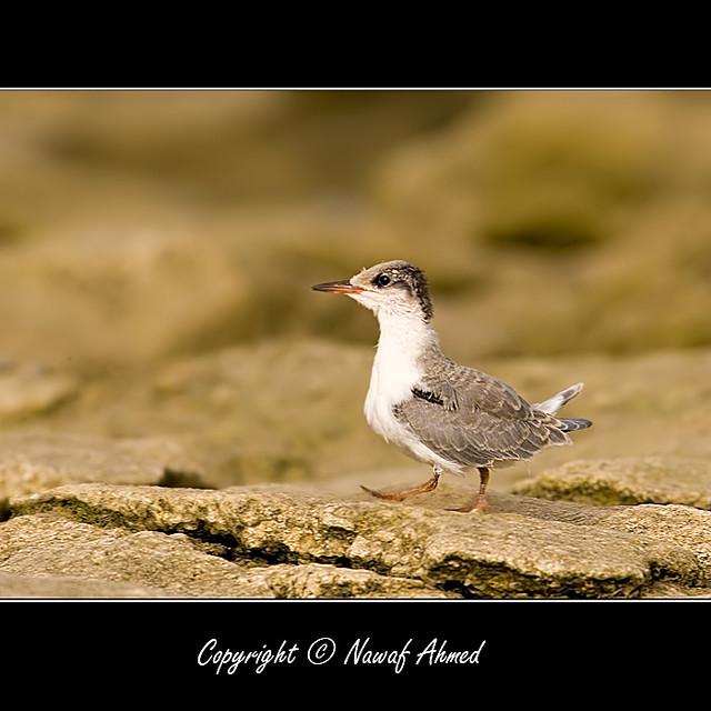 Wihte Cheecked Tern