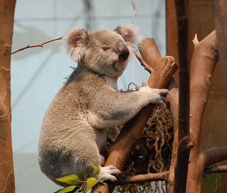 Koala's don't sleep all day long