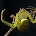 Crab Spiders - Photo (c) kim fleming, some rights reserved (CC BY-NC-SA)