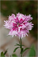 carnation(0.0), blossom(0.0), flower(1.0), plant(1.0), bee balm(1.0), herb(1.0), wildflower(1.0), flora(1.0), petal(1.0),