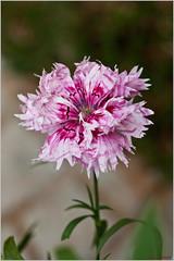 flower, plant, bee balm, herb, wildflower, flora, petal,