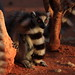 Madagascar, ring-tailed lemur