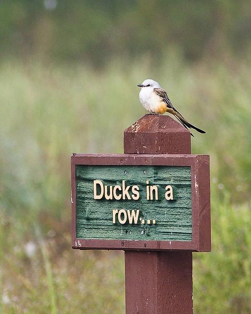 Oklahoma State Bird Name