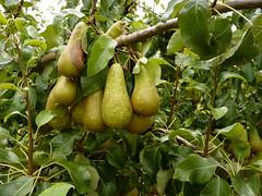 fruit tree, branch, tree, pear, plant, fruit,