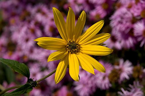 flower yellow gelb gazania blume
