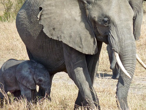 Elephant and newborn, Maasai Mara, Kenya