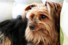 dog breed, animal, dog, schnoodle, pet, australian silky terrier, norfolk terrier, vulnerable native breeds, biewer terrier, morkie, carnivoran, yorkshire terrier, terrier,