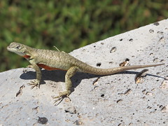 animal, reptile, lizard, fauna, lacerta, dactyloidae, scaled reptile, wildlife,