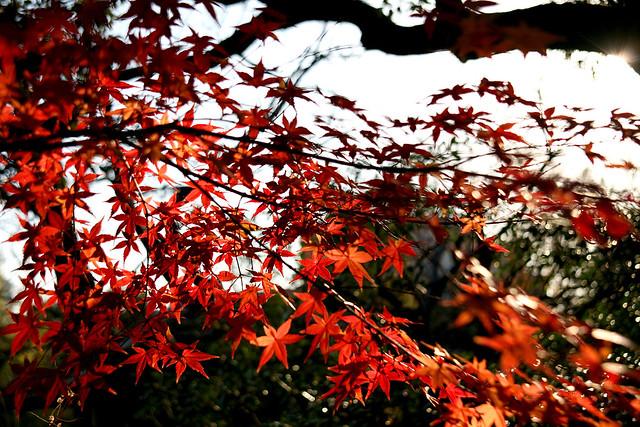Mukojima Hyakkaen Autumn Leaves - 05