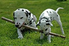dog breed, animal, dog, pet, mammal, dalmatian,