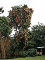 Terminalia myriocarpa - fruiting tree