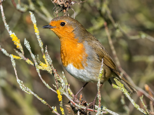 Robin at Ness