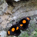 Catonephele numilia esite - Photo (c) Drriss & Marrionn, algunos derechos reservados (CC BY-NC-SA)