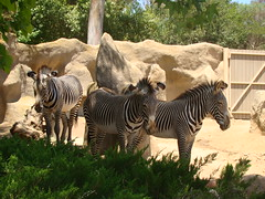 adventure(0.0), recreation(0.0), outdoor recreation(0.0), savanna(0.0), zoo(1.0), zebra(1.0), mammal(1.0), fauna(1.0), safari(1.0), wildlife(1.0),