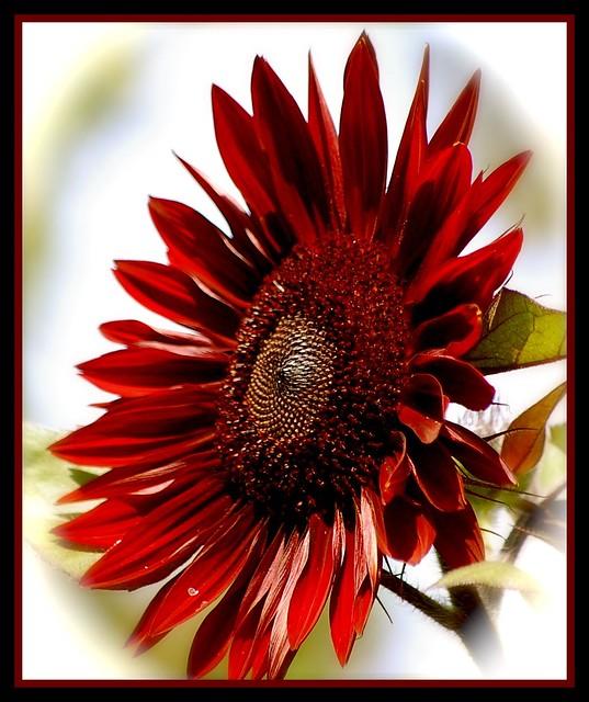 Sunflower Heaven | Flickr - Photo Sharing!